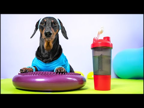 Get back in shape! Cute & funny dachshund dog video!