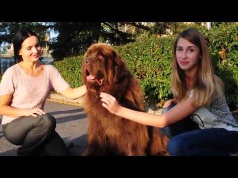 Собаки породы Ньюфаундленд, выпуск 1