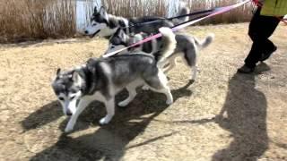 我が家のハスキーズ 沼のある公園へロング散歩に行きました.