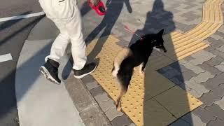 黒柴#柴犬 歩くスピードを合わせたり、信号をちゃんと待てるように散歩...