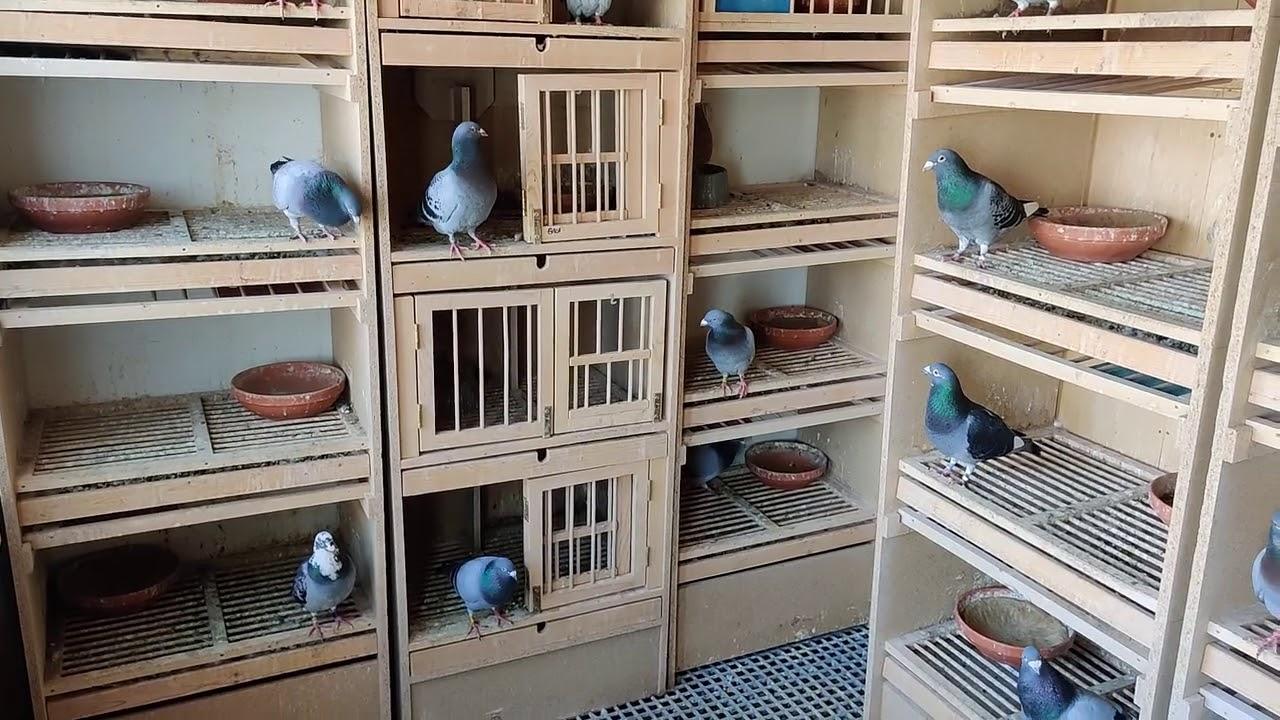 Printre porumbeii de la matca - noutati