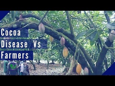 Cocoa Black Pod Disease: Ondo cocoa farmers set to adopt Pergado