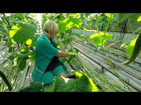 Сделано в Кузбассе HD: Выращивание огурцов в теплице