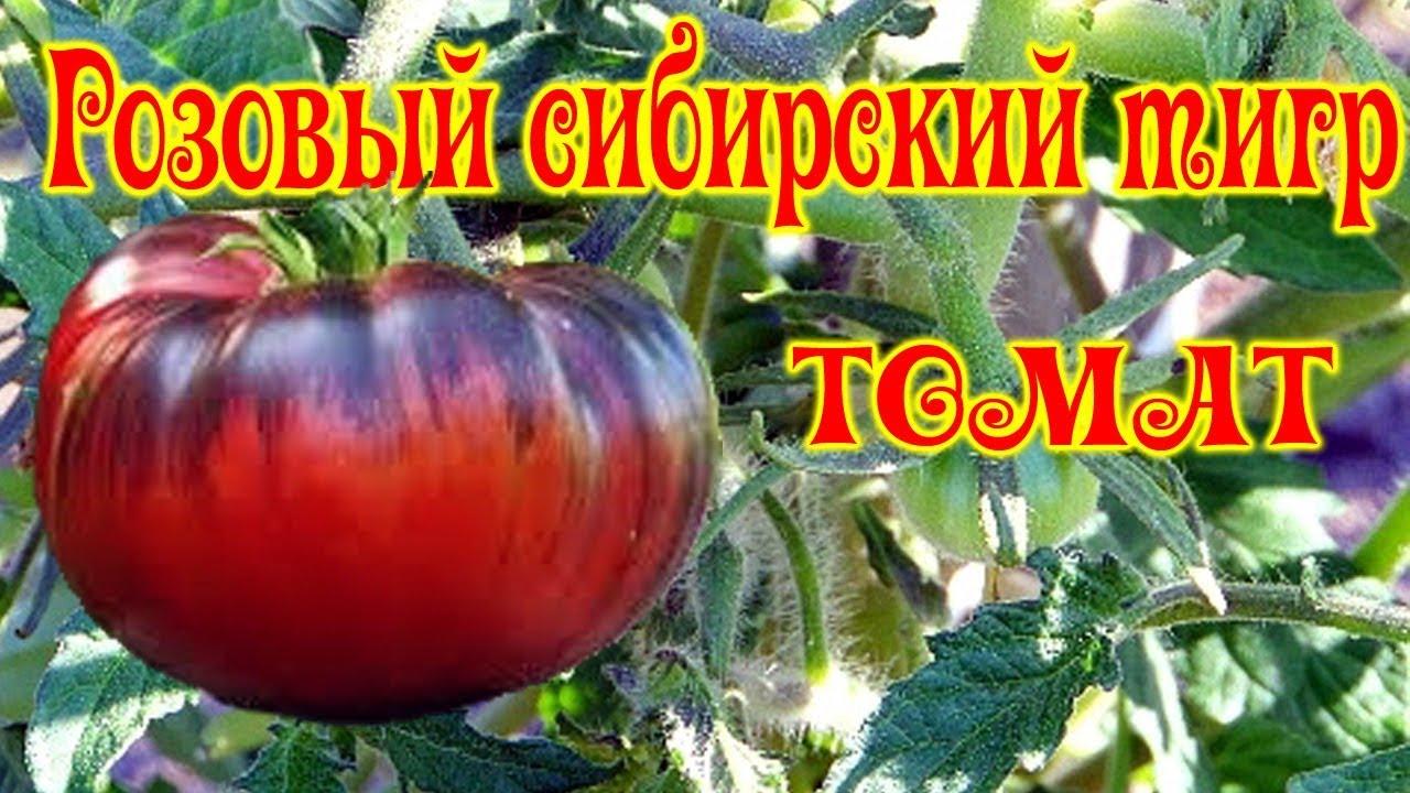 Томат Розовый сибирский тигр