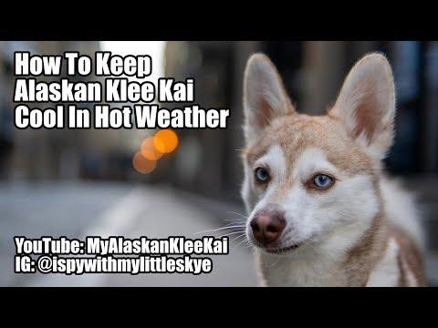Alaskan Klee Kai: Mini Huskies Stay Cool in Hot Weather