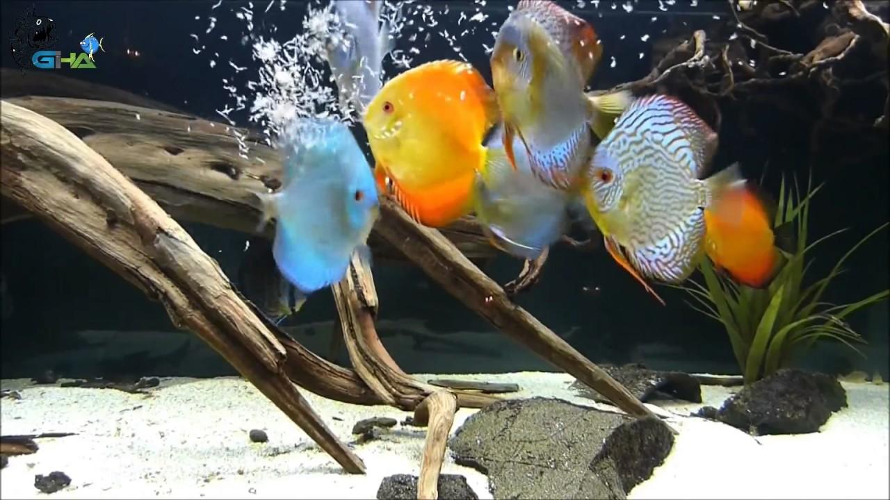 Cara Memelihara Ikan Discus Di Aquascape