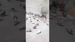 Güvercin besleme vol1