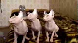 Танец котят канадского сфинкса, пит Рафинад