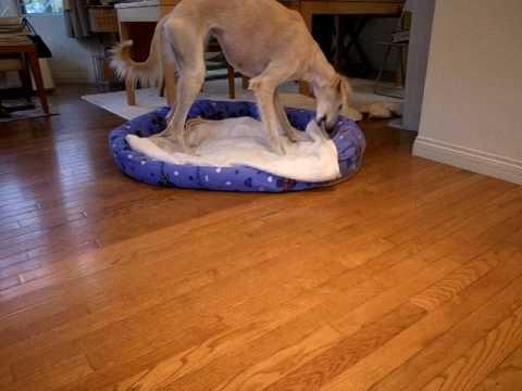 保護犬サルーキのサラちゃん 意外と・・・