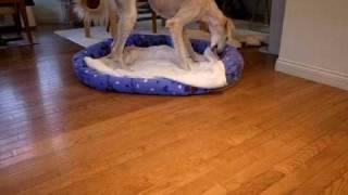 保護犬サルーキのサラちゃん 日に日に元気になってはしゃいでいます。 ...