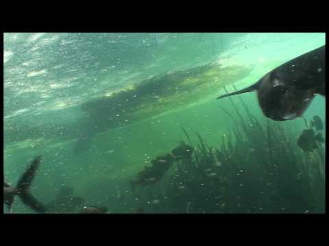 Huge Paddlefish Feeding