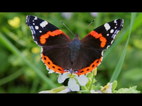Бабочка Адмирал