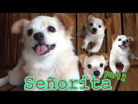 Señorita 4-6 Months  (Japanese Spitz X Shih Tzu)