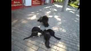 Чау-чау Юнь, Мышка, Толстый и кошки