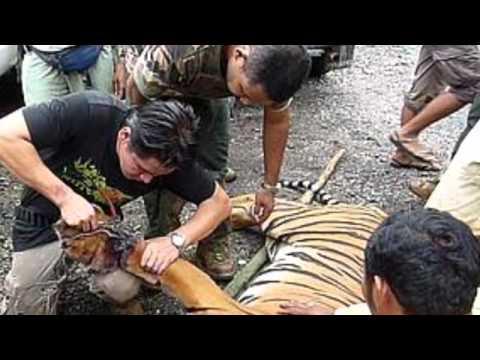 Tiger Poaching by Marisa