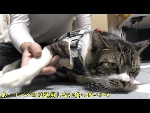 あの手この手で逃げようとする猫リキちゃんの努力が涙ぐましい☆ネコのお出かけ準備【リキちゃんねる 猫動画】Cat video キジトラ猫との暮らし
