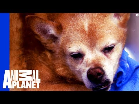 Thumbnail: Dog Down! Dr. Jeff and Team Act Fast to Save a Senior Dog