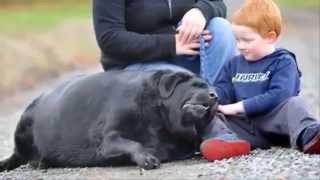 Топ 5 САМЫЕ ТОЛСТЫЕ собаки! Смешное видео