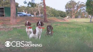 Special dogs searching for koalas in Australia bushfires
