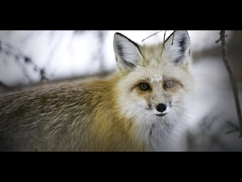 NATGEO Animals - America The Wild Yellowstone Scavengers - Nat Geo WILD