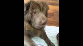 Bear Coat Sharpei 'dexter'