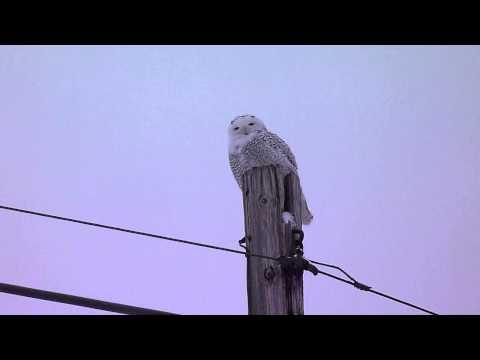Snowy Owl hearing test