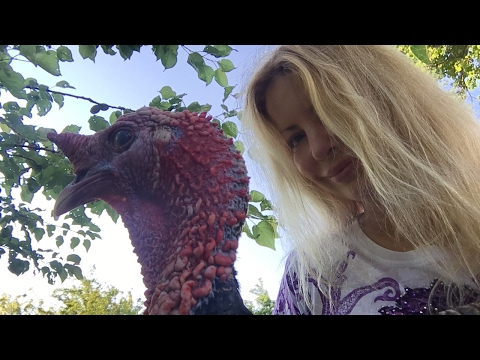 Live Close-up on a real turkey bird with Adeyto