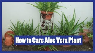 How to Care Aloe Vera Plant | Tips for Care of Aloe Vera | Urdu / Hindi | 2016