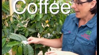 Coffee Tree for Australia the K7 Cofee Plant