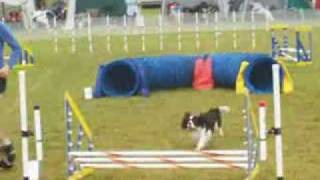 Cavalier King Charles Spaniel In Dog Agility!