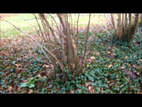 A walk through our hazel coppice in February