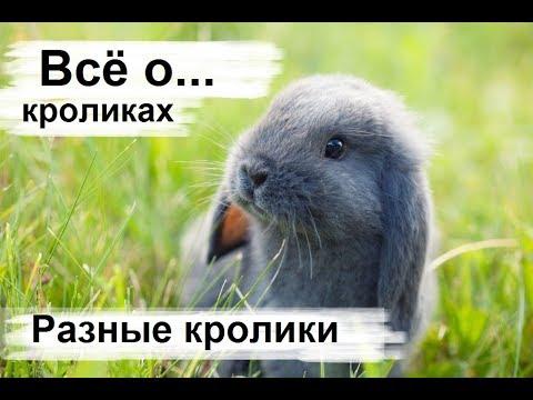 Разведение кроликов. Декоративные карликовые кролики, породы кроликов