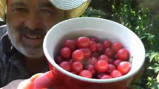 Picking fruit from the perimeter of Main Crop Garden #1