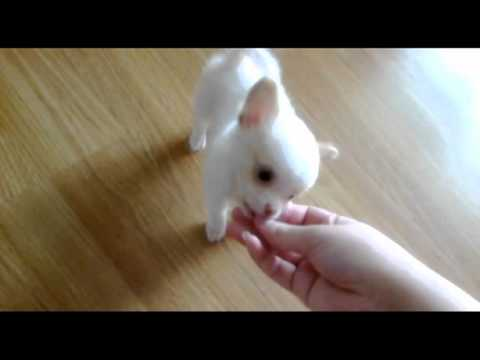Android & Honey Cute Teacup Chihuahua Puppies for Sale 2012