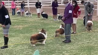 Beautiful Shelties at 2021 metro Phoenix AKC Major Specialty dog show