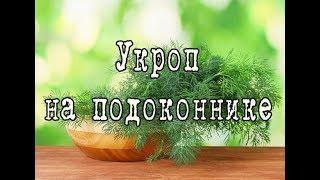 Как вырастить УКРОП на подоконнике. Простой способ выращивания УКРОПА в домашних условиях