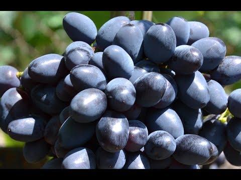 Виноград Кодрянка - сорт, с которым не расстанусь (Grapes Codreanca)