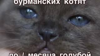 О цвете глаз Бурманской Кошки. Питомник европейских бурманских кошек Freya Way