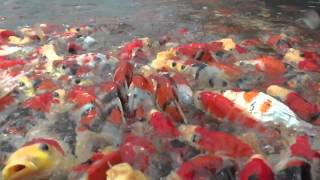 Koi Feeding Frenzy Nagoshi Koi Farm