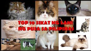 Top 10 Sikat na Lahi ng Pusa sa Pilipinas