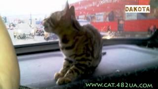Дакота   самая красивая и самая умная в мире кошка бенгальской породы d vfibyt, в гостях у бенгальск