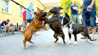 Repeat youtube video Staffordshire Bullterrier GBF Clubschau 2013 (Part 1 Males)