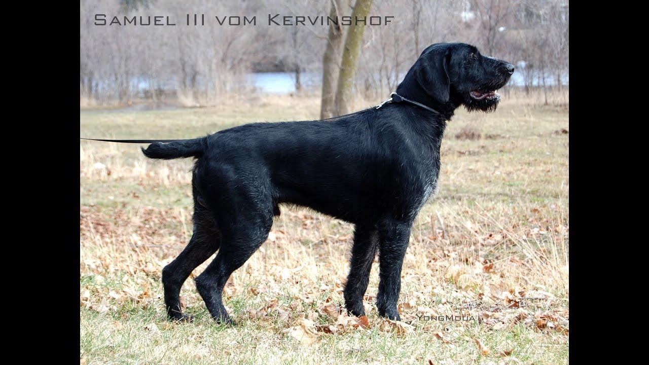 hunting dog pointing