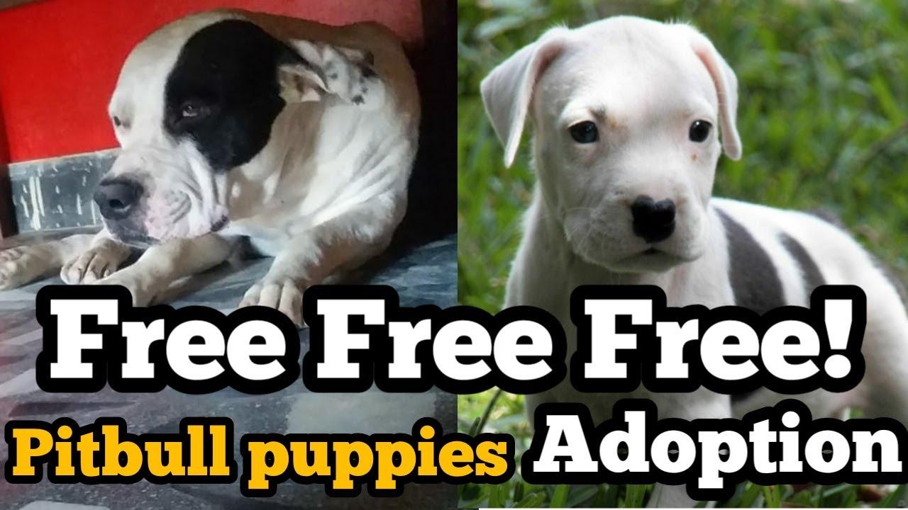 Free Free Free Adoption Pitbull Dog   Pitbull Dog For Free Adoption  dog for free adoption  free dog