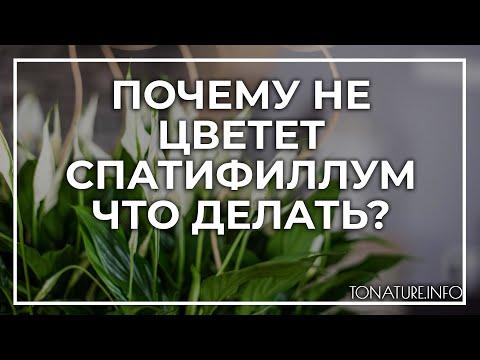 Почему не цветет спатифиллум – что делать? | toNature.Info