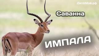 Импала. Энциклопедия для детей про животных. Саванна