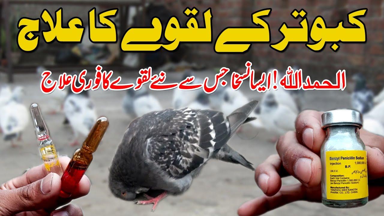 Download kabootar k Laqway or Jholy ka ilaj   pigeon health care  