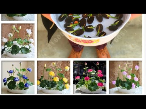 Миниатюрные лотосы из Китая. Проращивание. Часть 1. bonsai flower lotus flower