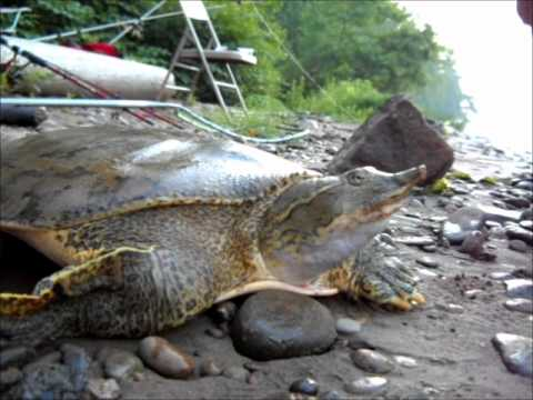 Soft shell turtle fished out of the ohio river in beaver for Ohio out of state fishing license