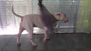 Le Bull Terrier Qui Marche Au Ralenti